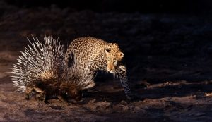 6 Leopard Photography-CautiousCat-ShemCompion