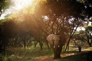 An elephant ambles along a forest path, her calf following behind.