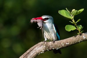 Woodland kingfisher-Loskom Dam-Jan van Wyk-4