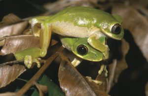 Natal tree frogs-Guide to the Animals of Souther Africa