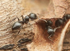 Ants-5-Peter Slingsby-Crematogaster peringueyi-Philip Herbst