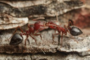 Ants-6-Peter Slingsby-Crematogaster schultzei-Philip Herbst