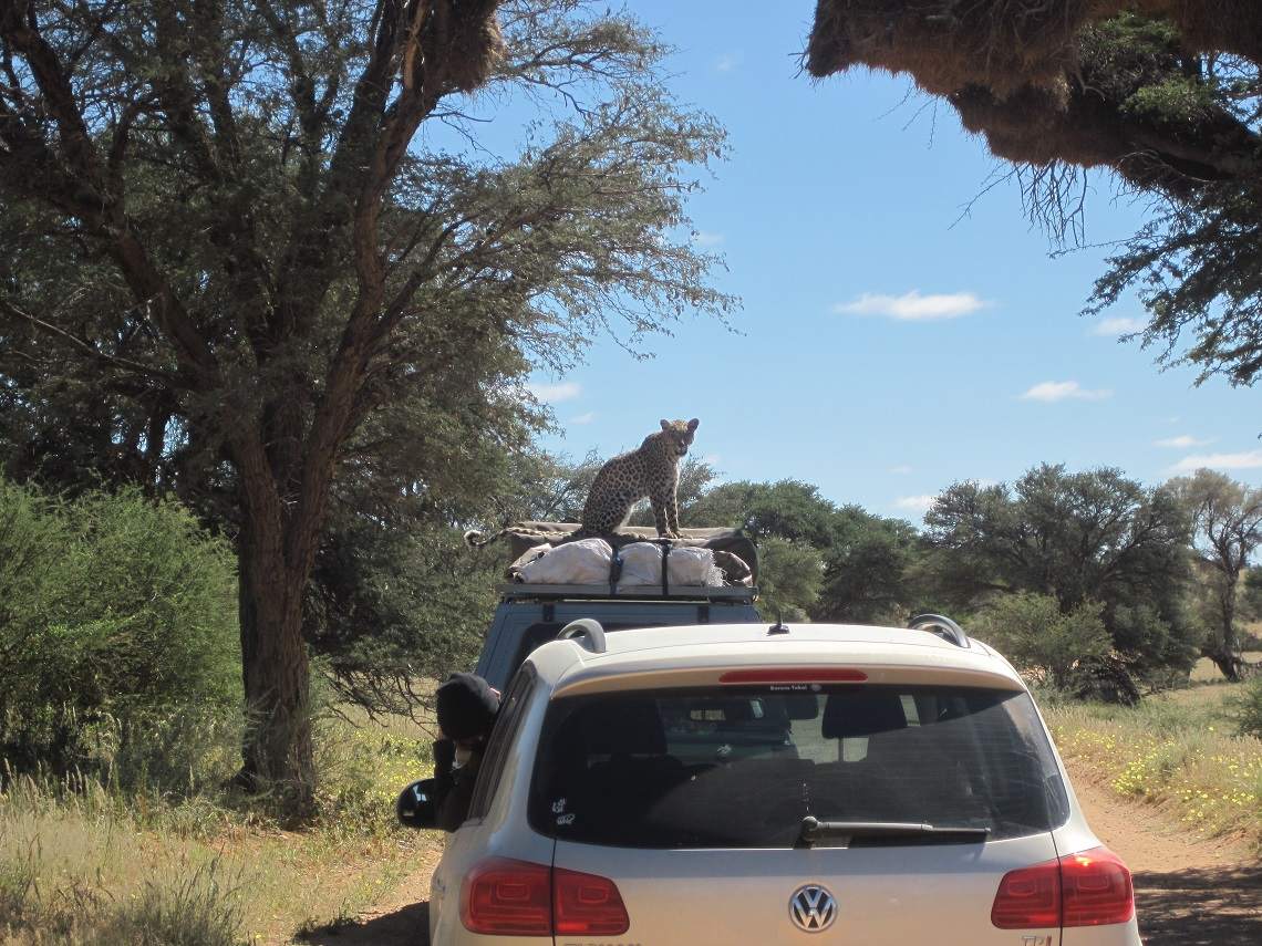 Leopard on car-Kgalagadi-Ayesha Cantor-10