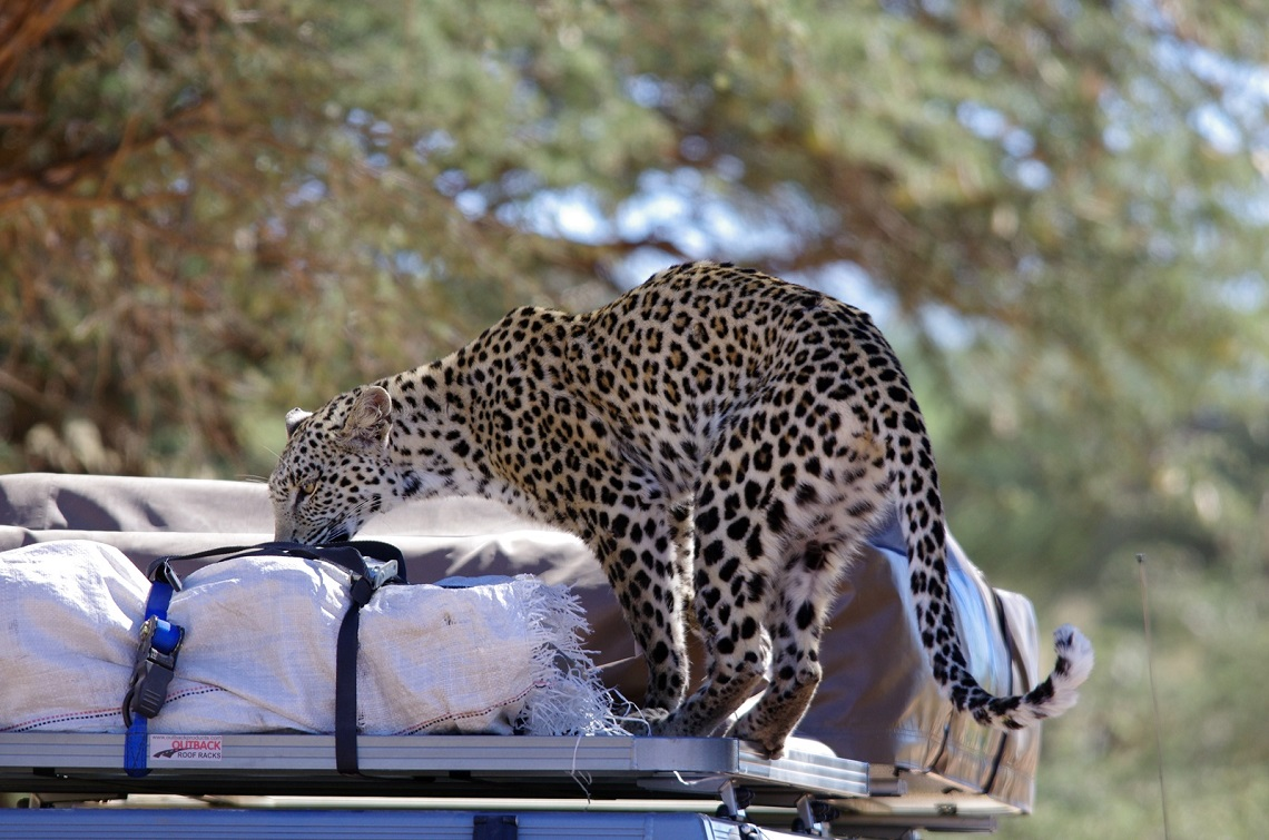 Leopard on car-Kgalagadi-Ayesha Cantor-3