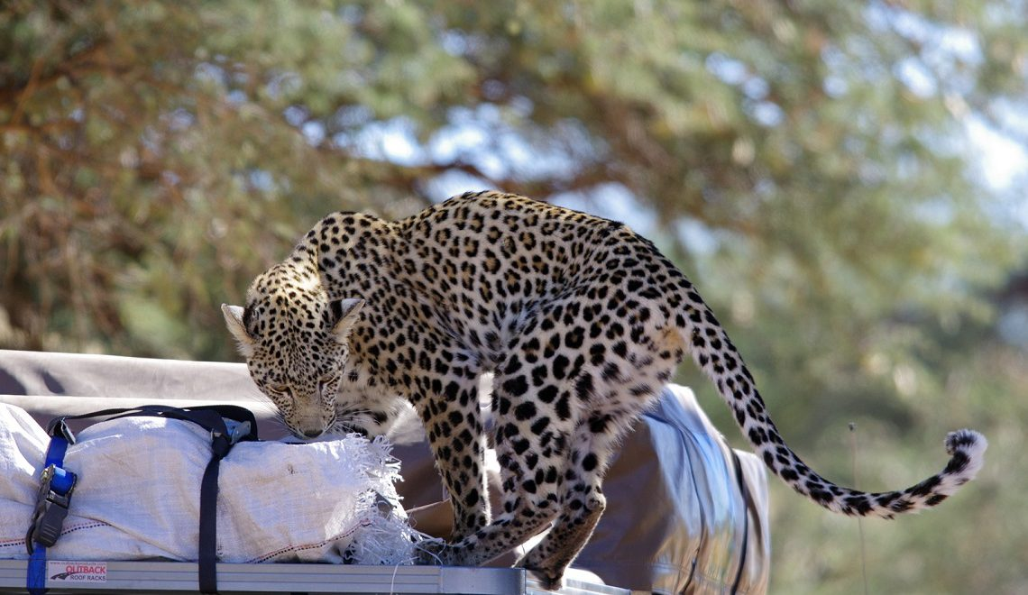An extremely close Kgalagadi leopard encounter