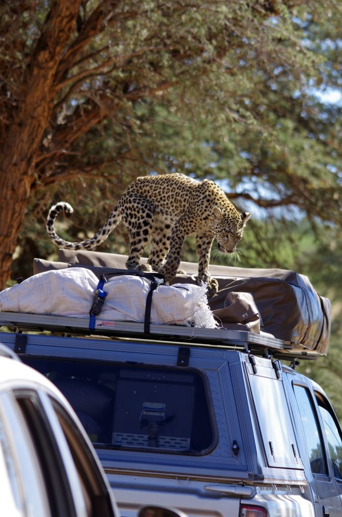 Leopard on car-Kgalagadi-Ayesha Cantor-6