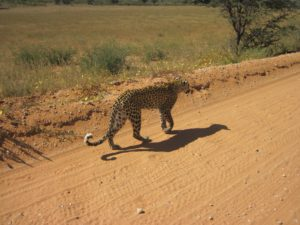 Leopard on car-Kgalagadi-Ayesha Cantor-8