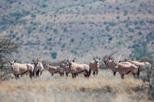 The open plains of Mountain Zebra are home to herds of gemsbok.