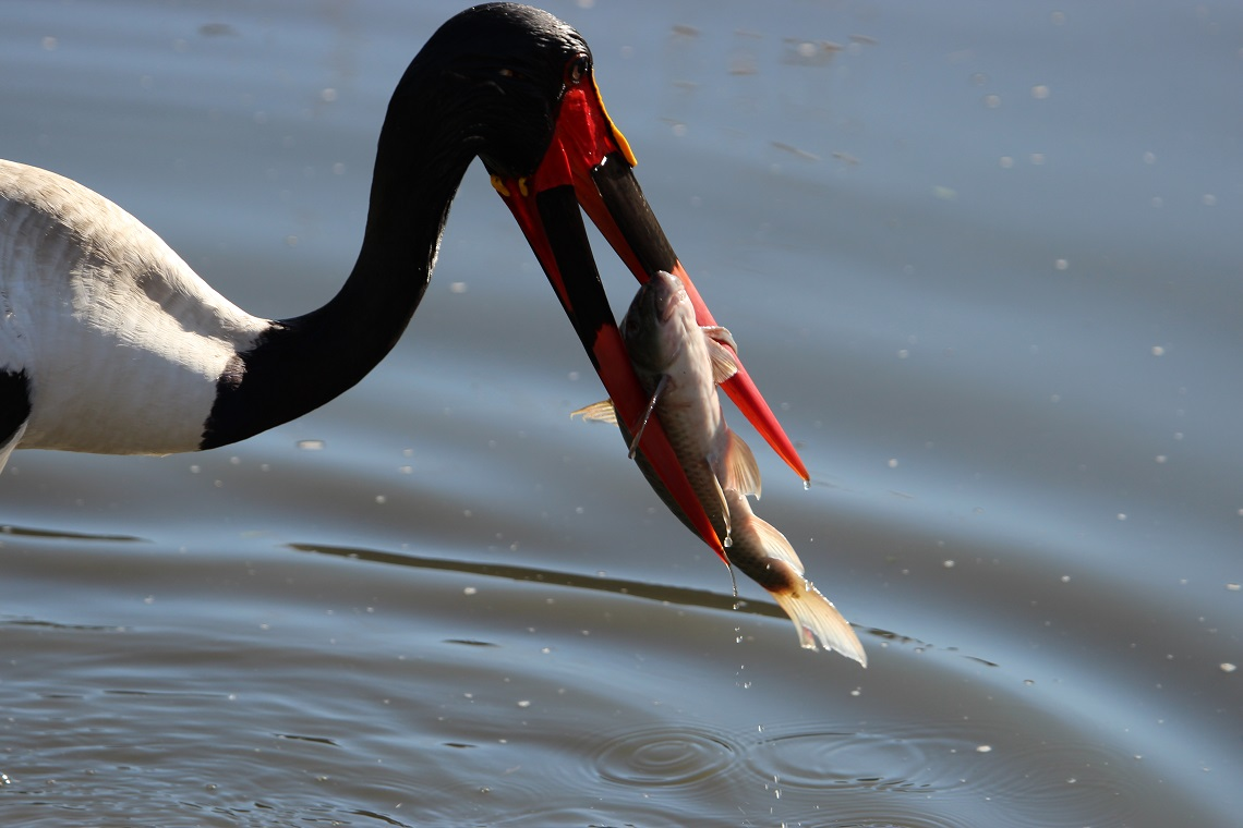 Saddle-billed stork-Fish eagle-Kruger-Fanie Maritz-2