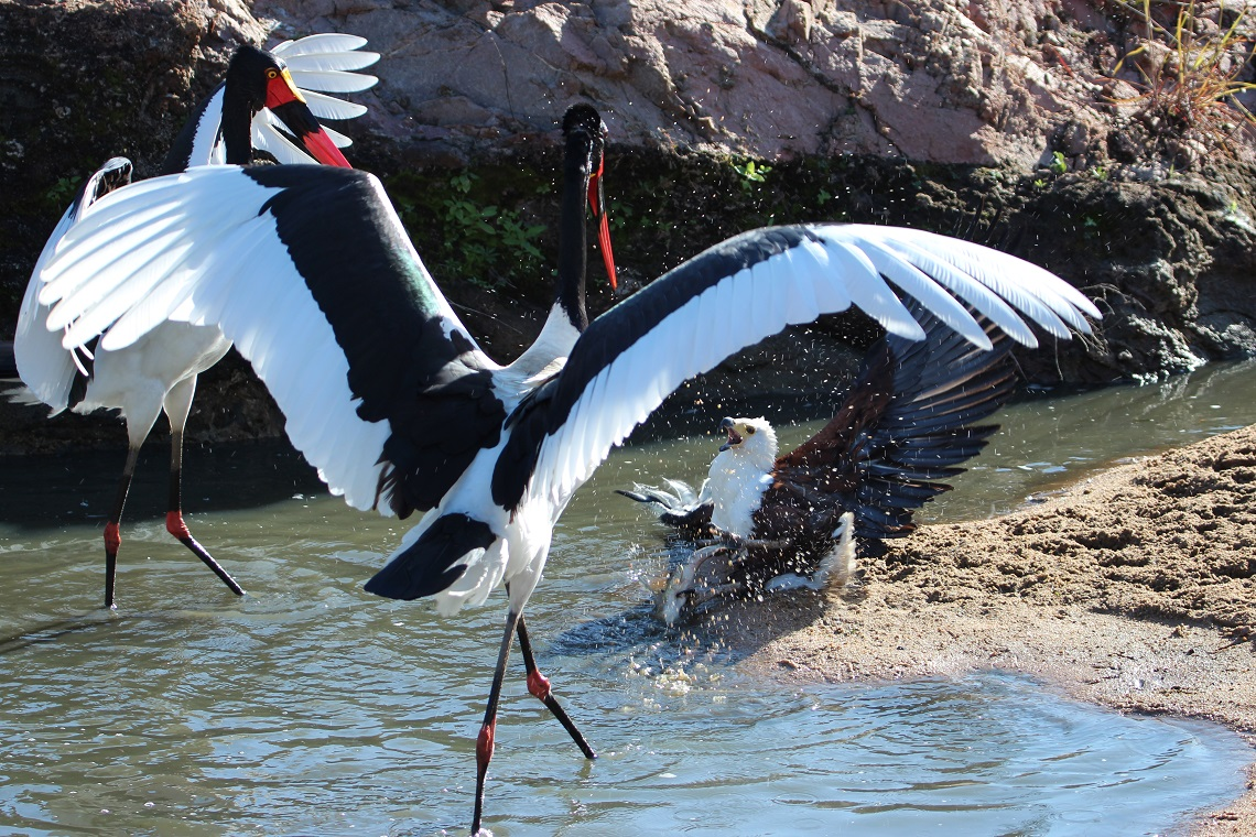 Saddle-billed stork-Fish eagle-Kruger-Fanie Maritz-8