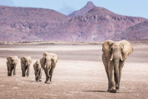 Purros Conservancy in Kunene Region in Namibia. Desert-adapted elephants near the community of Purros.