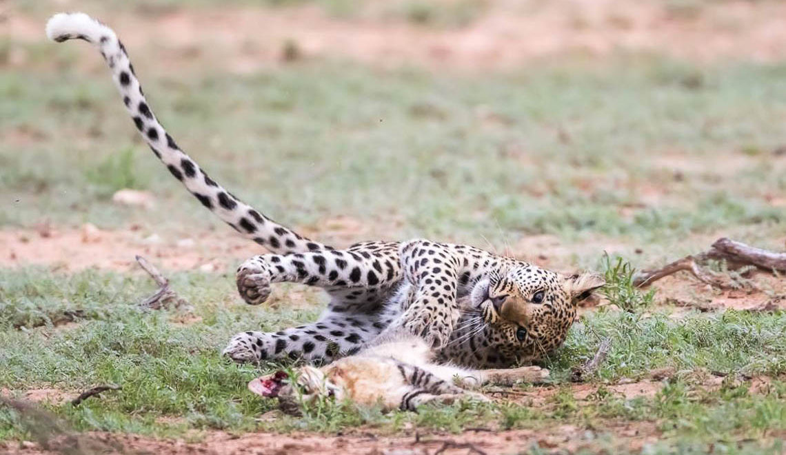 Cat fight in the Kgalagadi