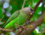 kruger-brown-headed-parrot-paolo-giovanno-cortelazzo