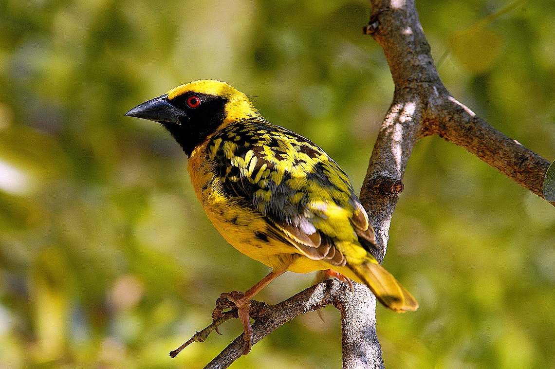 kruger-spotted-backed-weaver-paolo-giovanni-cortelazzo