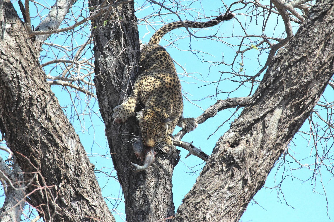 leopard-white-backed-vulture-kruger-graham-pringle-11