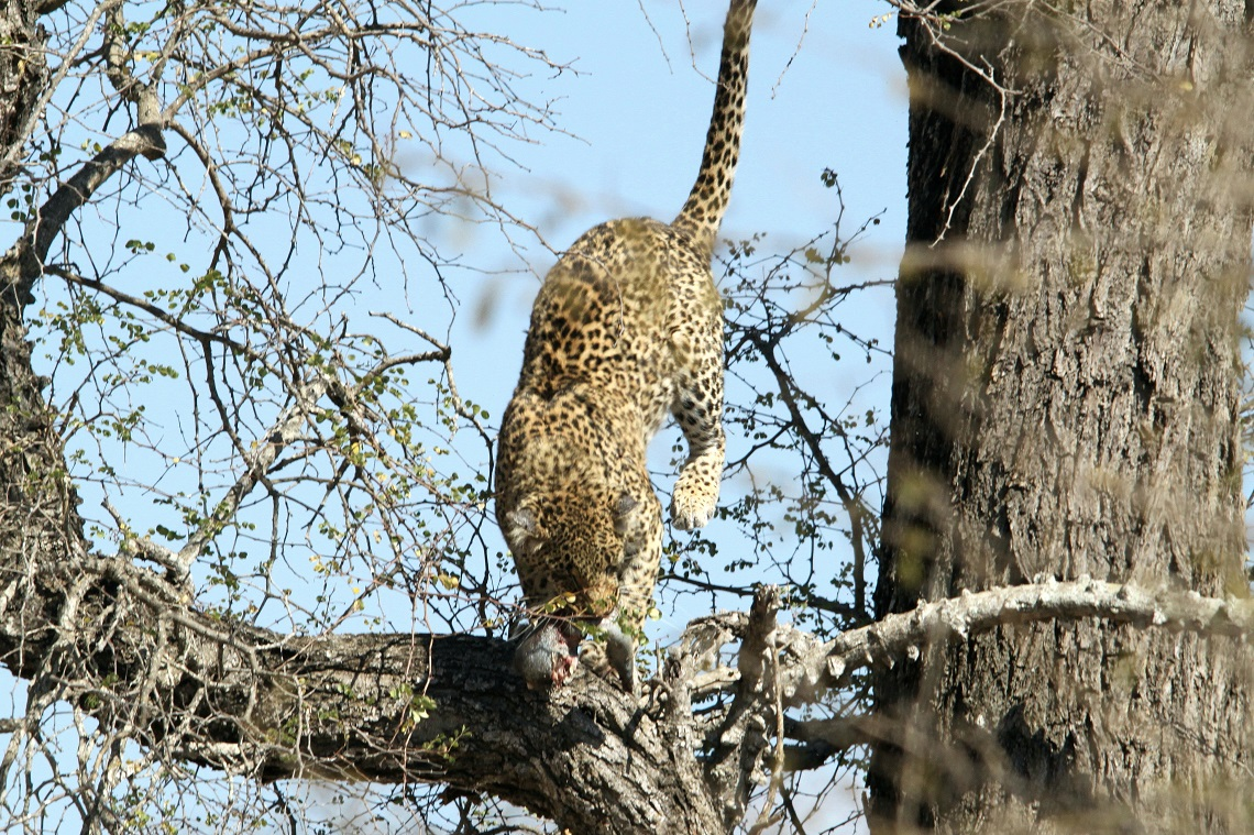 leopard-white-backed-vulture-kruger-graham-pringle-13