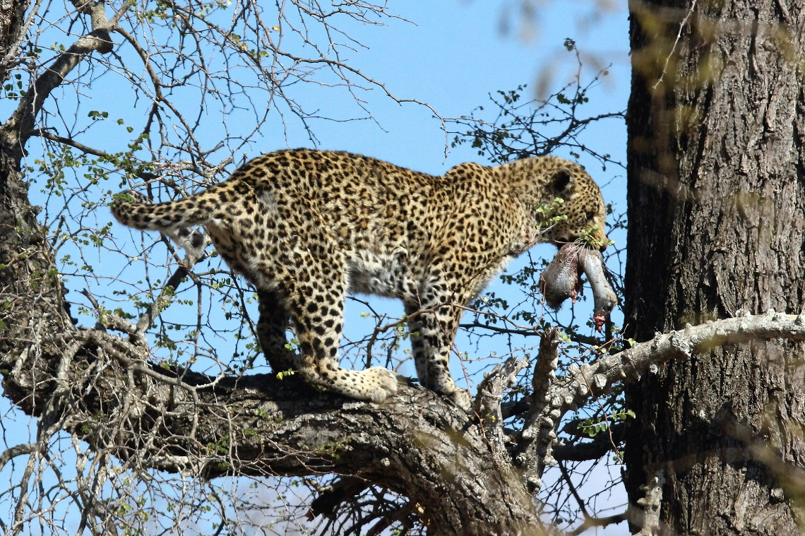 leopard-white-backed-vulture-kruger-graham-pringle-14
