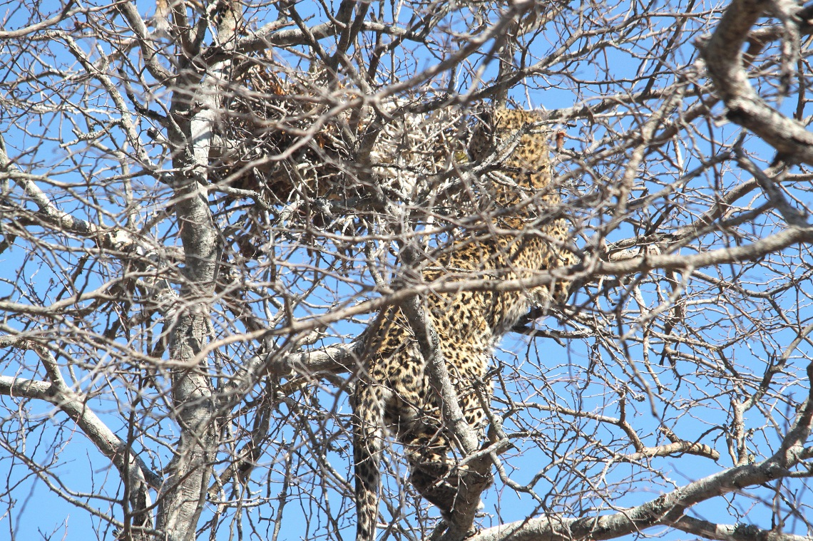 leopard-white-backed-vulture-kruger-graham-pringle-7