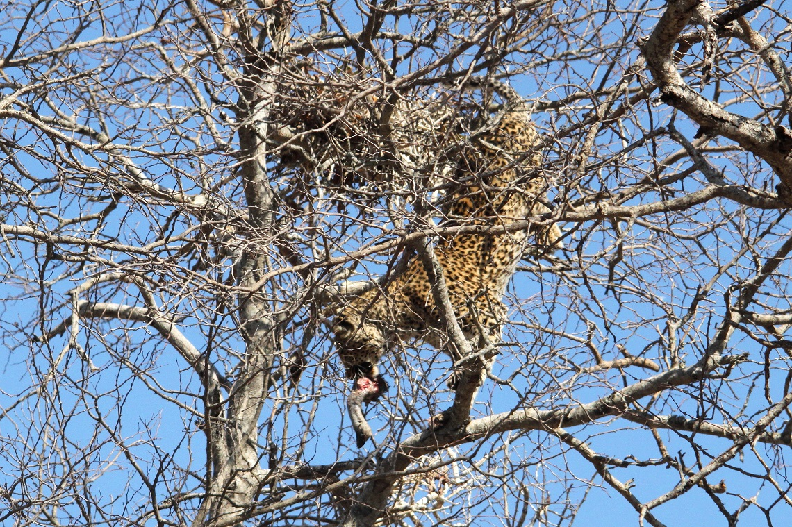leopard-white-backed-vulture-kruger-graham-pringle-9