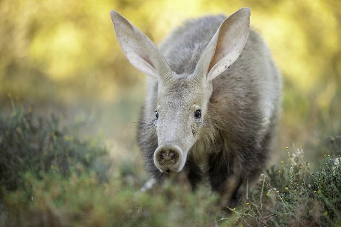 Aardvarks (Orycteropus afer) Photographed in the Karoo South Africa