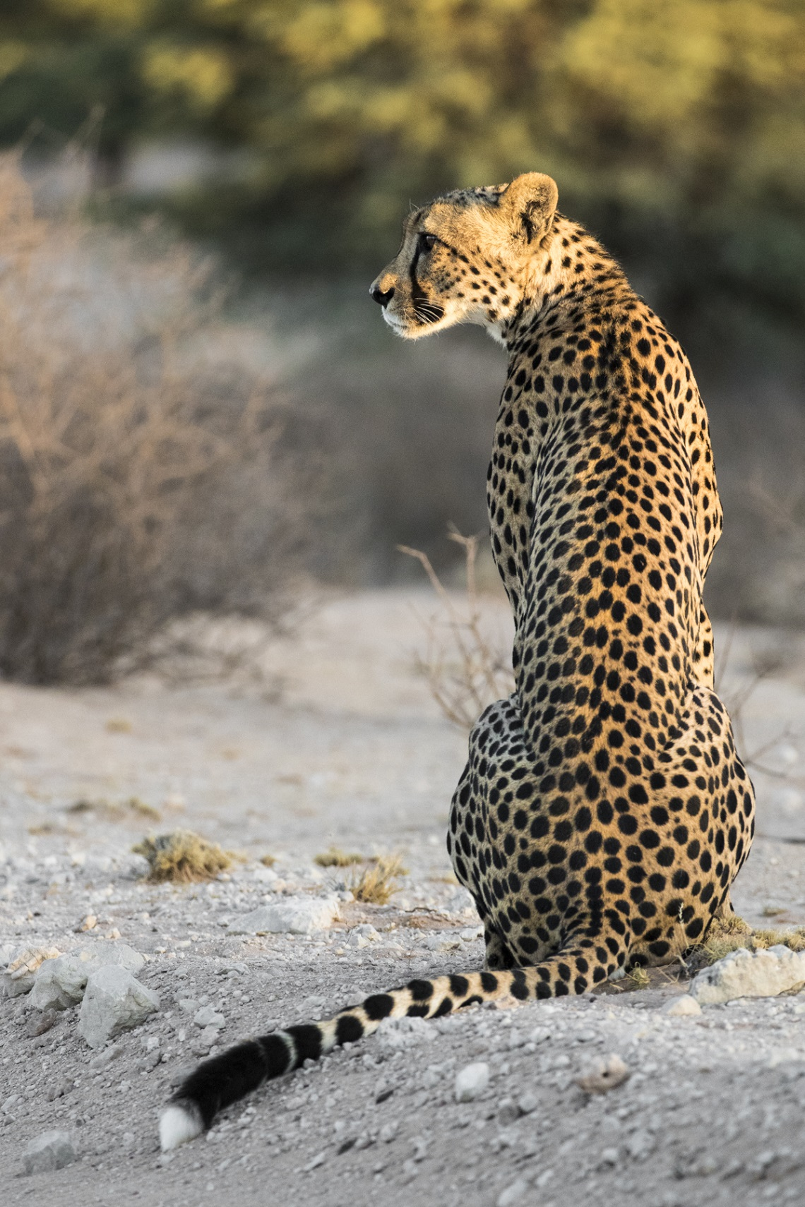kgalagadi-honeymoon-davide-gaglio-cheetah