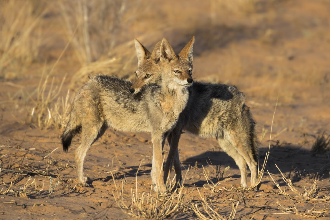 kgalagadi-honeymoon-davide-gaglio-landscape-at-sunset-jackal