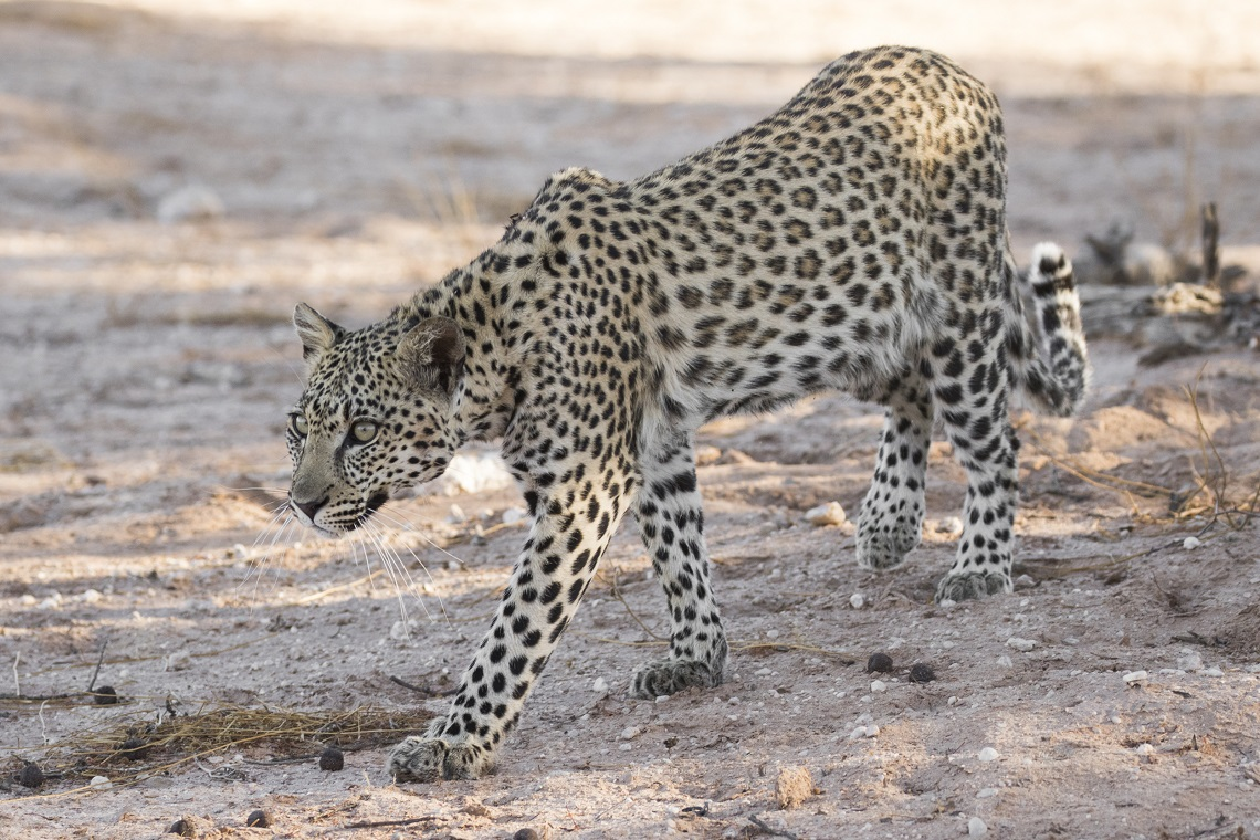 kgalagadi-honeymoon-davide-gaglio-leopard