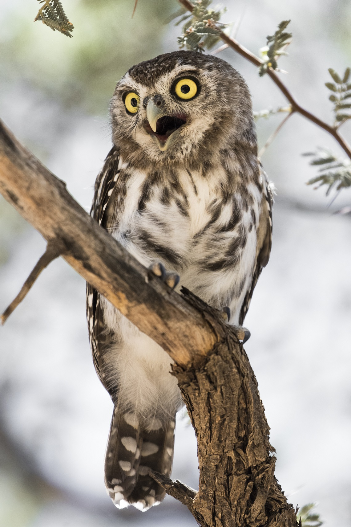 kgalagadi-honeymoon-davide-gaglio-pearl-spotted-owlet