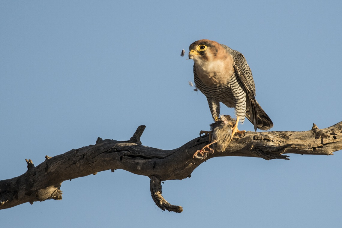 kgalagadi-honeymoon-davide-gaglio-red-necked-falcon