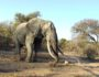 elephants-alive-big-tusker