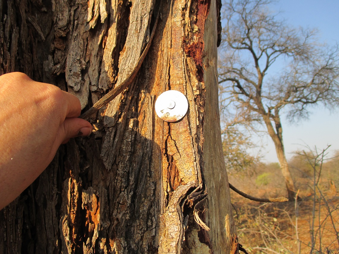Monitoring large tree species by assigning specific trees with number labels. Picture by Michelle Henley