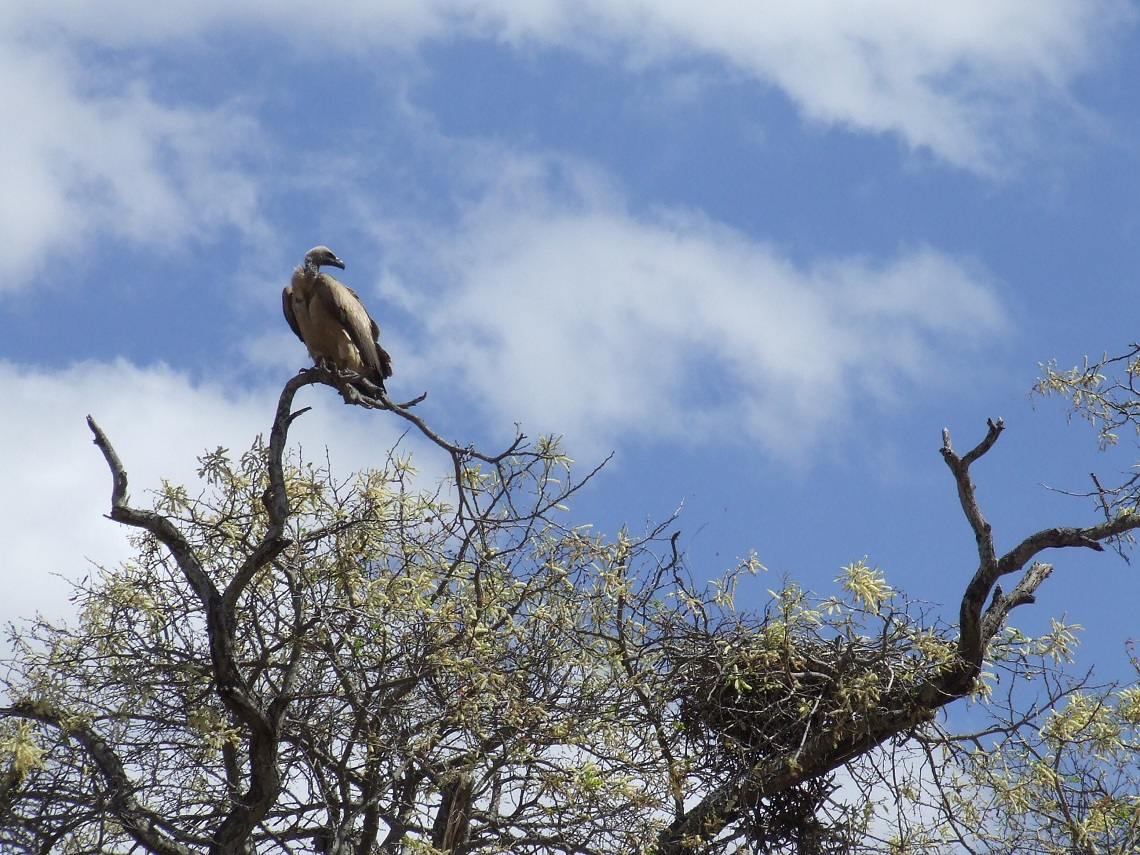 Elephants Alive monitor over 3,000 large trees for elephant impact and the survival of endangered birds that use large trees as nesting sites, like this white-backed vulture. Picture by Michelle Henley