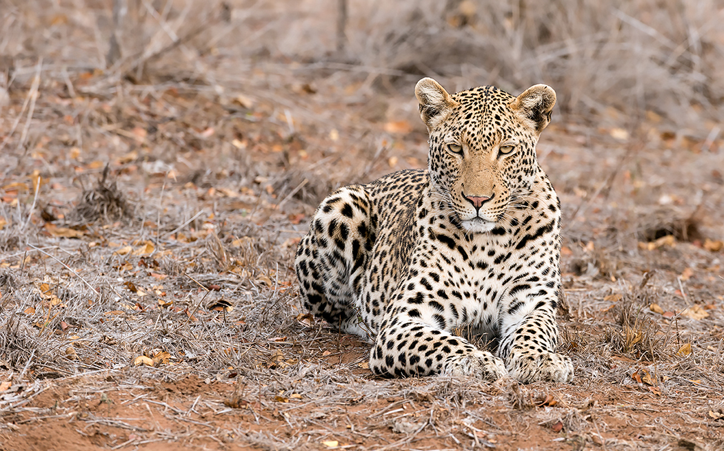 kruger-leopard-and-porcupine-sighting1-john-coe-1