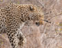 kruger-leopard-and-porcupine-sighting1-john-coe-2