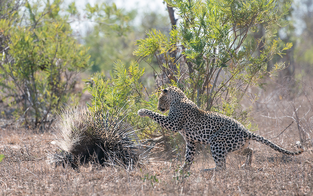 kruger-leopard-and-porcupine-sighting2-john-coe-3