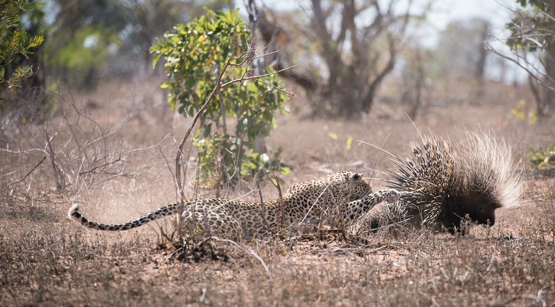 kruger-leopard-and-porcupine-sighting2-john-coe-4
