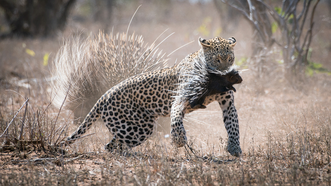 kruger-leopard-and-porcupine-sighting2-john-coe-5