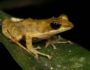 Kloof frog-MAIN-Leap Day for Frogs-Endangered Wildlife Trust