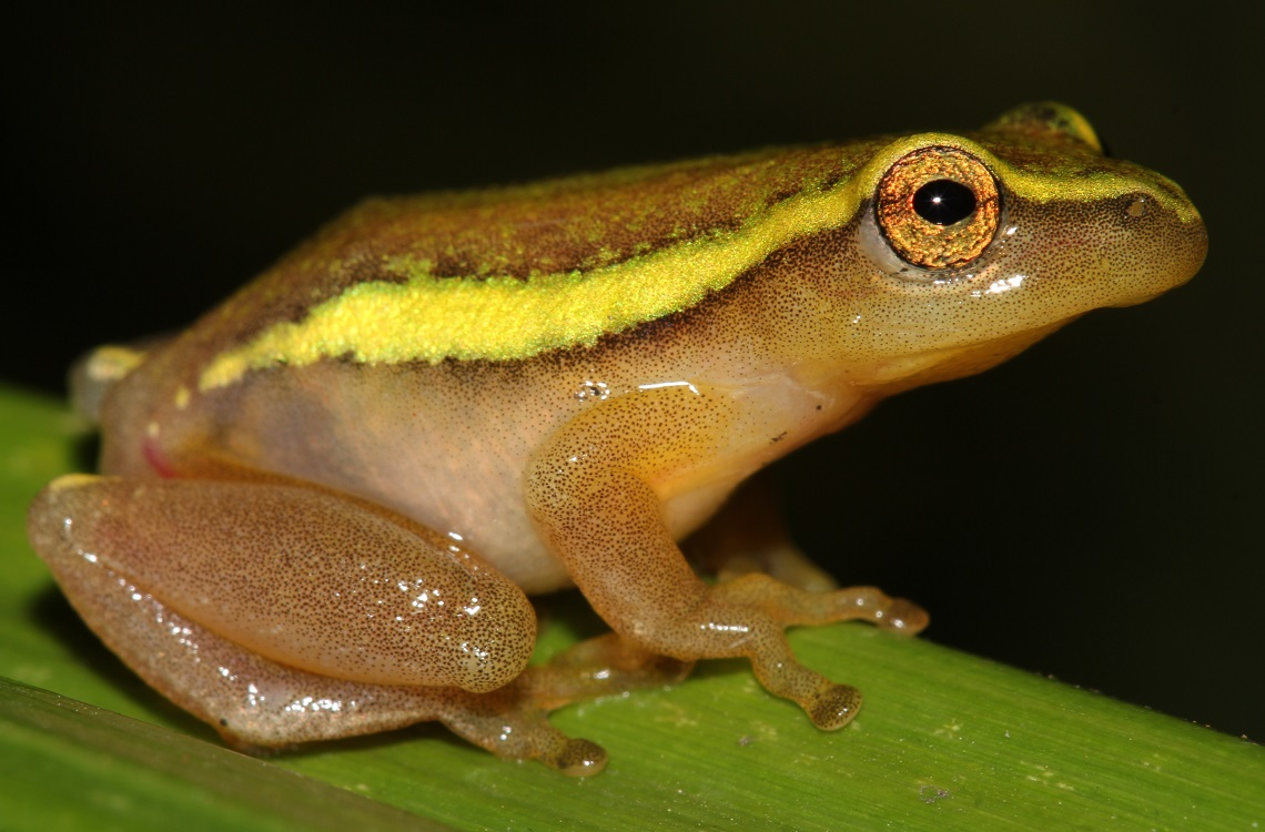 Male Pickersgills frog-Leap Day for Frogs-Endangered Wildlife Trust