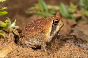 Mozambique rain frog-Leap Day for Frogs-Endangered Wildlife Trust