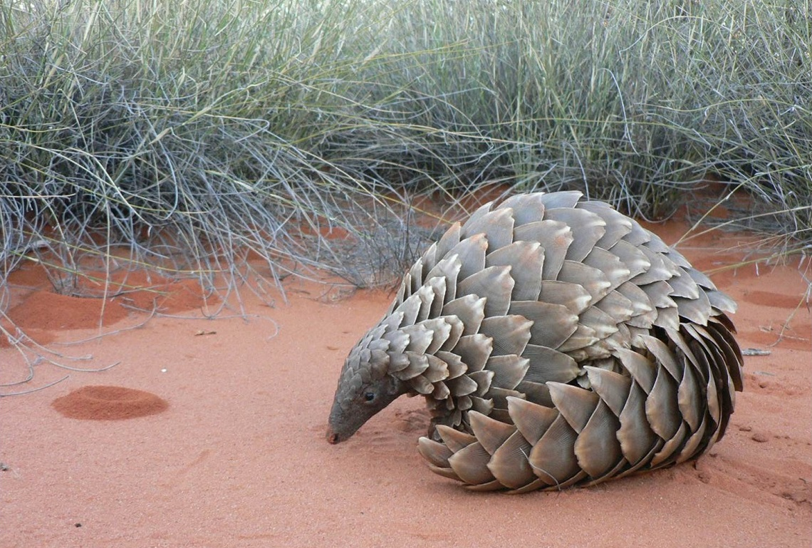 Temmincks ground pangoli-African Pangolin Working Group-Darren Pietersen-2