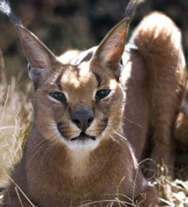 Urban Caracal Project-1