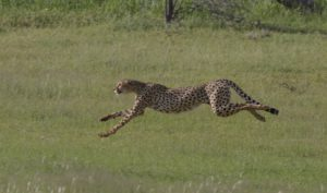 Kruger-cheetah and lion with kill-Charmaine Joubert-1