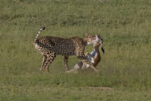 Kruger-cheetah and lion with kill-Charmaine Joubert-2