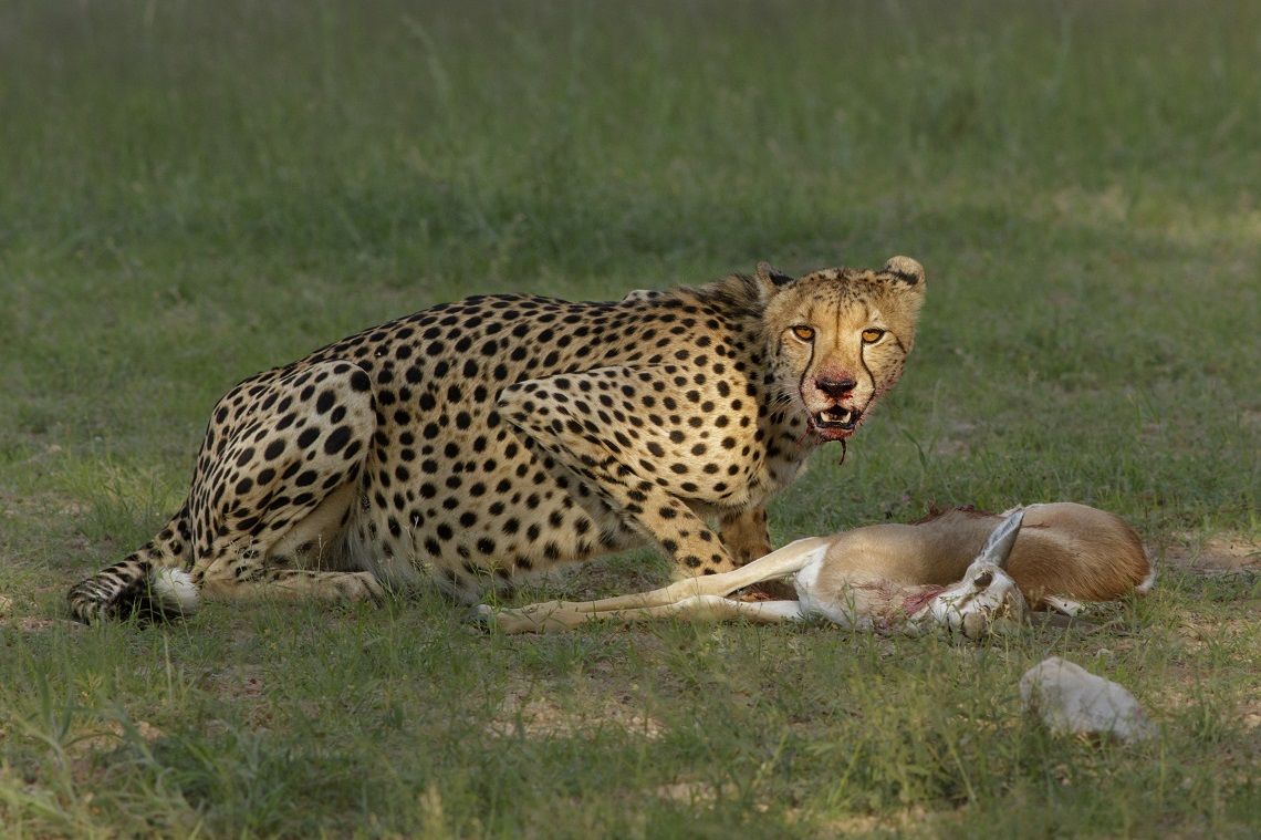 Kruger-cheetah and lion with kill-Charmaine Joubert-4