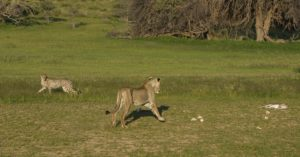 Kruger-cheetah and lion with kill-Charmaine Joubert-5