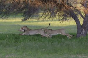 Kruger-cheetah and lion with kill-Charmaine Joubert-7