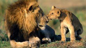 Lion and cub-SANParks Honorary Rangers