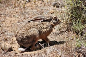 Cape Hare - Karoo National Park  All Photo's Copyrighted © Dee Roelofsz African Visions Photography 2017