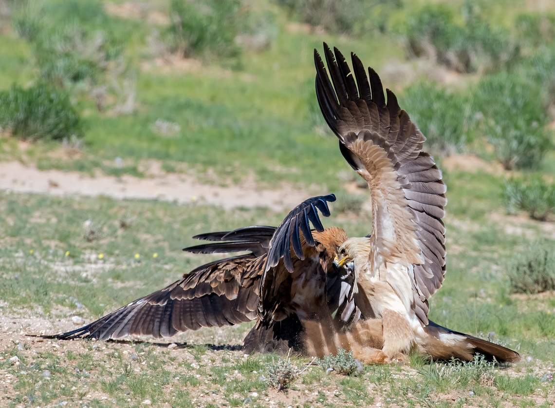 A Lanner Falcon hit a Cape Turtle dove but did not manage to grab the dove out of the air. The dove fell to the ground and the dark Tawny Eagle collected it and then two other Tawny Eagles also got involved trying to steal the prey.